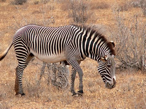 They are listed as vulnerable, and according to african wildlife foundation, each year 8 percent of the population is poached for their ivory tusks, and like many of the other animals on this list, cheetahs are also listed as vulnerable, with african wildlife foundation reporting that approximately 6,674. Picture 7 of 14 - Zebra (Equus Zebra, Equus Quagga, Equus Grevyi) Pictures & Images - Animals ...