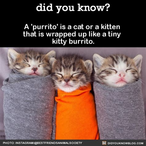 how is a cat did you a purrito is a cat or a kitten that is