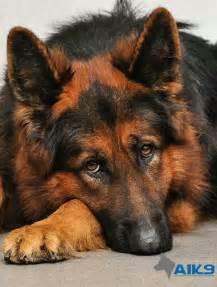 Red and black german shepherd. | K9...mostly German ...