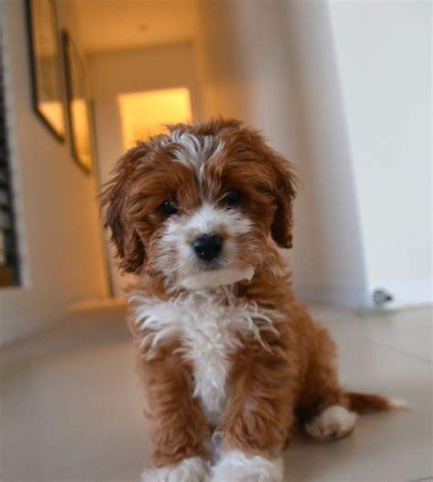 toy cavoodle puppies  sale chevromist kennels puppies