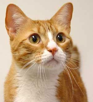 orange tabby cat orange tabby cats pctures and info