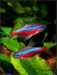 Red Belly X Ray Tetra