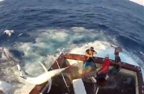 Marlin Jumps In Boat by A 600 Pound Black Marlin Jump Into A Boat