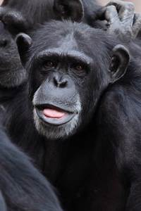 Free pictures CHIMPANZEE - 15 images found