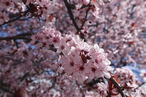 Pale Pink Sakura Flowering Cherry Blossom Flowers On