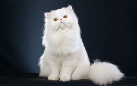 Top 10 Most Expensive Cat Breeds  Wow Amazing