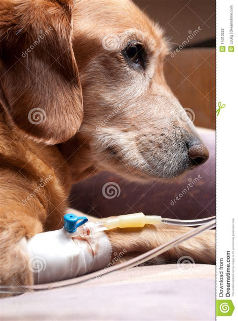 dog recovering  cannula intravenous therapy stock
