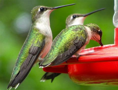 hummingbird identification quiz male or female ruby throat