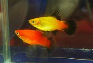 All About Aquarium Fish Platy Care and Breeding