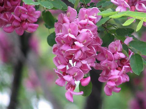 Poveste Parfumataparfumul Salcâmilor în Floare G A B I
