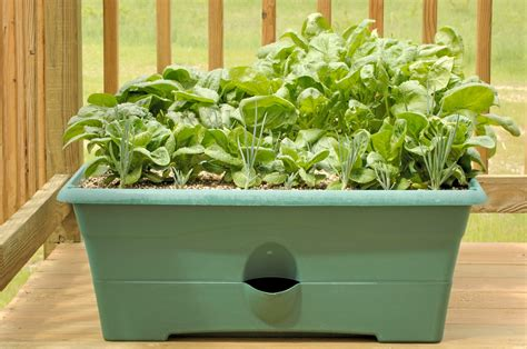 Growing Spinach In Containers  Learn About The Care Of