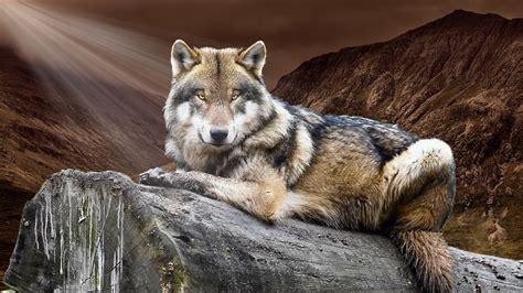 Wolf Animal Wild Nature Hd Wallpaper Wallpaper Flare
