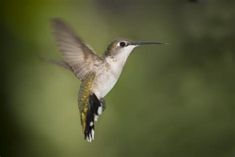 file hummingbird texas jpg wikipedia