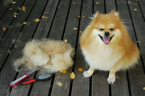 Heavy Shedding Dogs by 20 Pictures With Heavy Shedding Dogs All