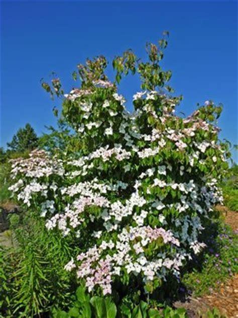 Hartriegelpflege  Pflanzen, Schneiden Und Vermehren