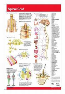 Spinal Cord Poster