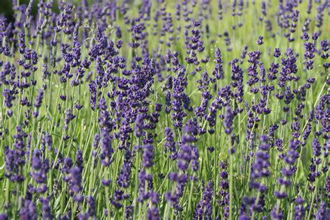 Und Lavendel by Lavendel Echter Lavendel Hidcote Blue Lubera De