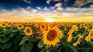 Pin Sonnenblumen-sonnenuntergang-1920x1080-kostenlos