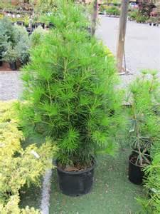 umbrella pine tree rainyleaf