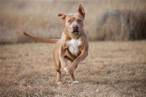 dog food  pitbulls  satisfy  nutritional