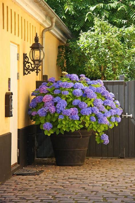 will hydrangeas grow in pots best blue flowers to grow in containers balcony garden web