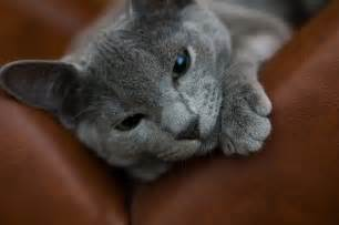 russian blue cat for russian blue cat pictures and information