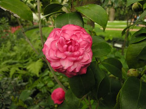 camellia pictures flower camellia flower pictures meanings