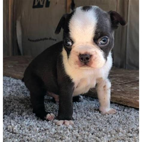 male boston terrier puppies  sale  san francisco
