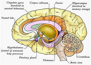 Human Anatomy And Physiology Diagrams  Human Brain Diagram