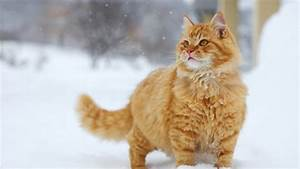 Full HD Wallpaper red giant cat snowfall, Desktop ...