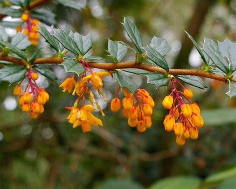 Plants Online Nursery by Gardensonline Berberis Darwinii