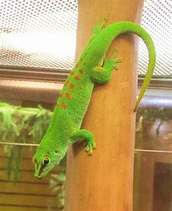 Madagascar Giant Day Gecko Facts and Pictures | Reptile Fact