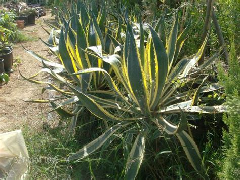 agave vaso agave in vaso balestrate palermo