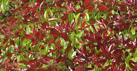 tip photinia does the red tip photinia do well in shade ehow uk