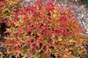 Heuchera Marmalade Coral Bells