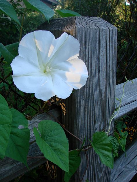 moonflower plant care for moonflowers how to grow a moonflower vine