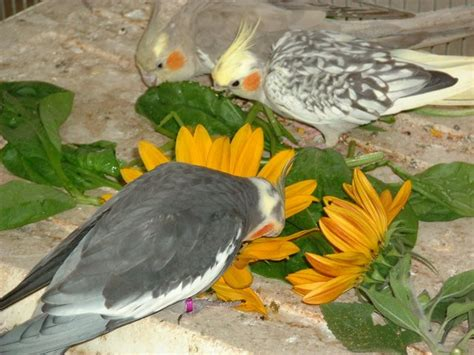 fresh sunflower is a big hit