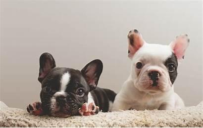 Bulldog French Puppies Dog Mix Francese Nume