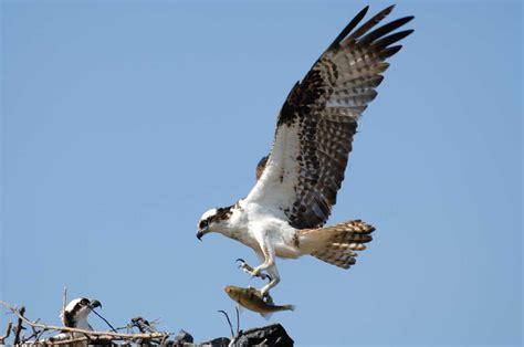 Images Of Osprey Osprey