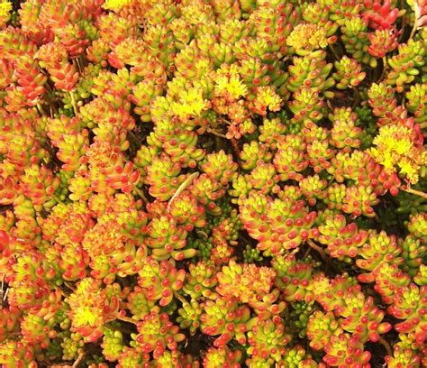 succulents as ground cover pork n beans sedum sedum rubrotinctum this ground cover succulent is great for tight spaces