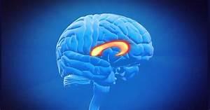 Brain Corpus Callosum  Anatomy  Functions And Parts
