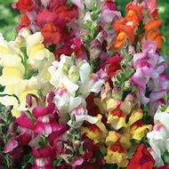 Perennial Snapdragon Plants