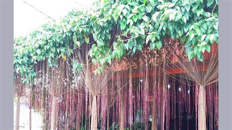 gambar tanaman hias batang akar cat rumah minimalis
