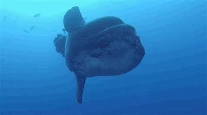 Fish Sunfish Biggest Gigantic Ever Ocean Seen