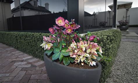 growing hellebores in containers top 28 how to grow hellebores in pots christmas rose hellebore jacob sloat garden center