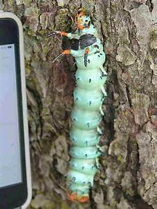 Largest North American Caterpillar