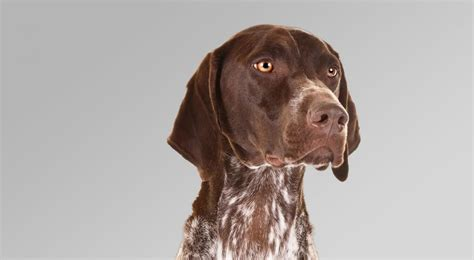 german shorthaired pointer breed information american kennel club