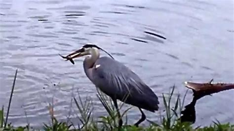 bird fishing fish florida exotic ave swallowing