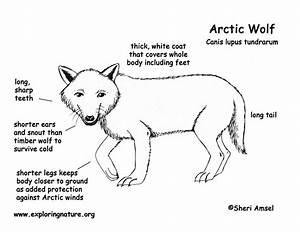 wolf arctic With arctic fox diagram