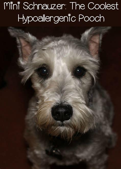 miniature schnauzer  favorite hypoallergenic dog